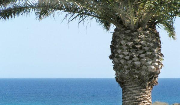 Palme auf Lanzarote